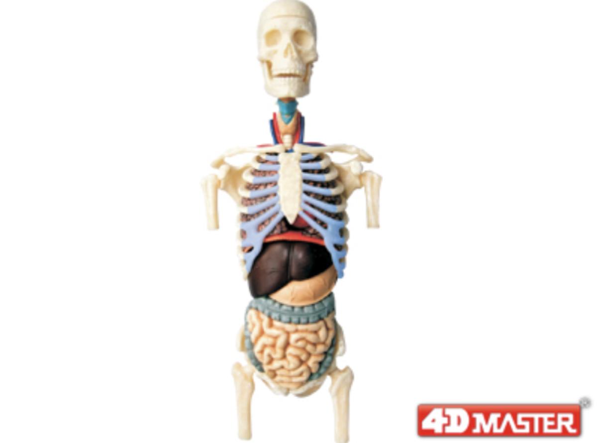 4d Master 8transparent Torso Anatomy Model Hktvmall Online Shopping